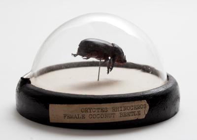Rhinoceros coconut beetle (Oryctes rhinoceros)