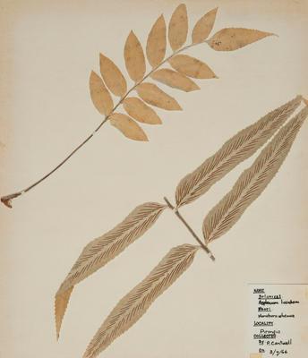 Shining spleenwort (Asplenium oblongifolium)