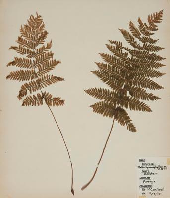 Heruheru (Todea hymenophylloides)