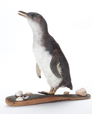 Korora / little blue penguin (Eudyptula minor)