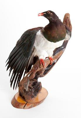 Kereru / wood pigeon (Hemiphaga novaeseelandiae)