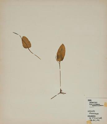 Ribbon fern (Ophioglossum pendulum)