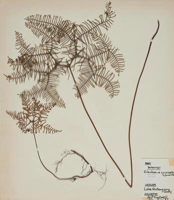 Tangle fern (Gleichenia circinata)