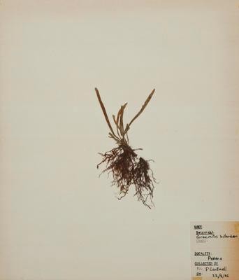 Common strap fern (Notogrammitis billardieri)