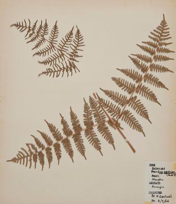 Bracken fern (Pteridium aquilium)