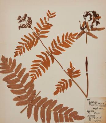 Royal fern (Osmunda regalis)