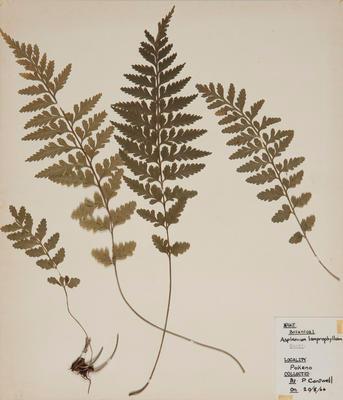 Shining leaf spleenwort (Asplenium lamprophyllum)
