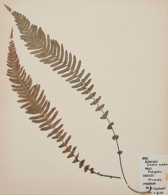 Pukupuku (Doodia australis)