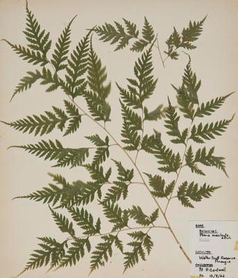 Sweet fern (Pteris macilenta)