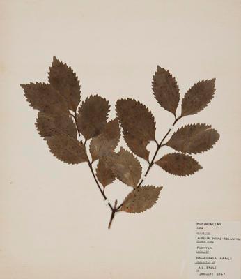 Pukatea (Laurelia novae-zelandiae)