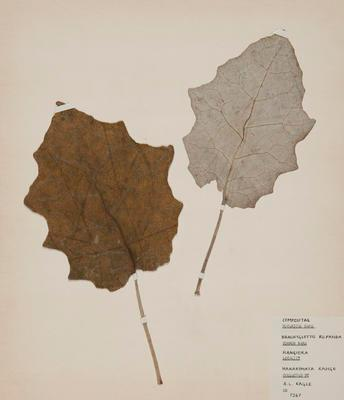 Rangiora (Brachyglottis repanda)