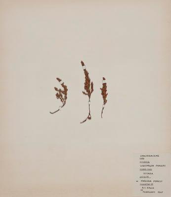 Patotara (Leucopogon fraseri)
