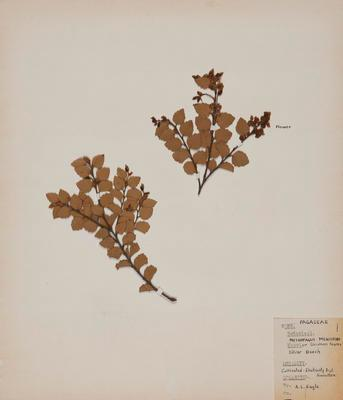 Silver beech (Lophozonia menziesii); Audrey Eagle; 1966-1967; 1967/99/8