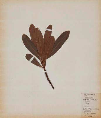 Toro (Myrsine salicina)