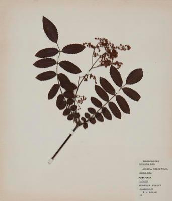 Makamaka (Ackama rosifolia)
