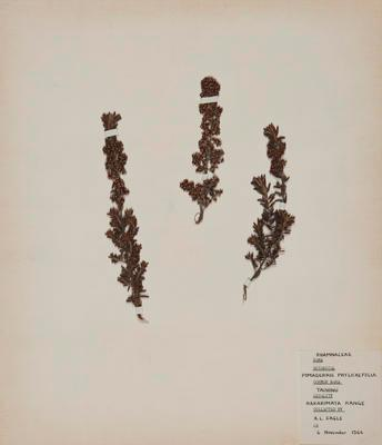 Tauhinu (Pomaderris phylicifolia)