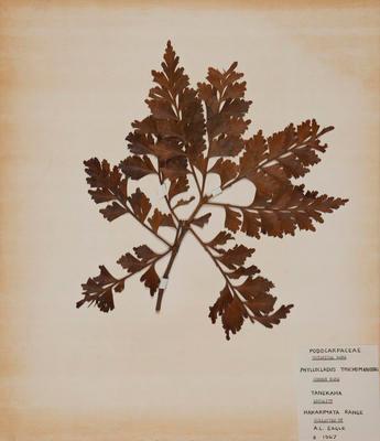 Tanekaha (Phyllocladus trichomanoides)