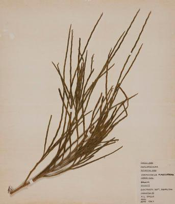 Whip broom (Carmichaelia flagelliformis)