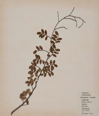 Black beech (Fuscospora solandri)
