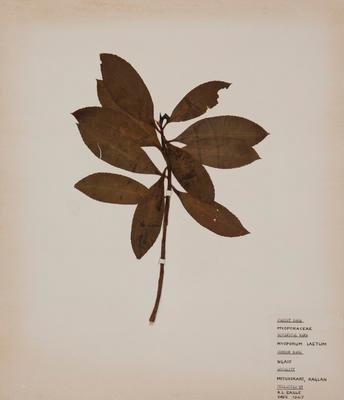 Ngaio (Myoporum laetum)