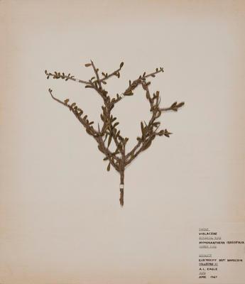 Thick-leaved mahoe (Melicytus crassifolius)