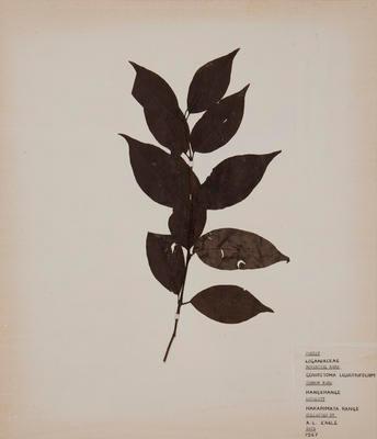 Hangehange (Geniostoma ligustrifolium)