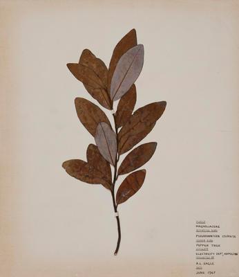 Red horopito (Pseudowintera colorata)