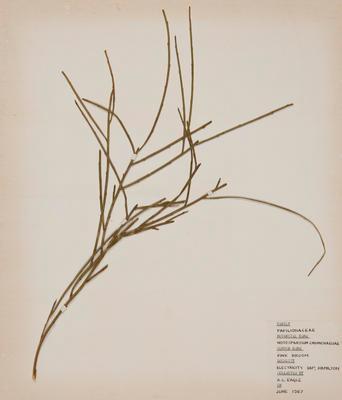 Pink broom (Carmichaelia carmichaeliae)