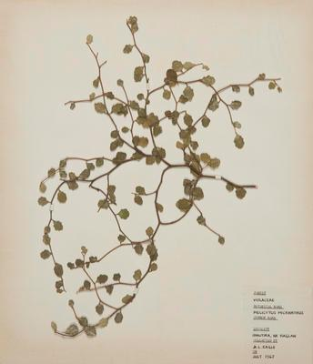 Manakura (Melicytus micranthus)