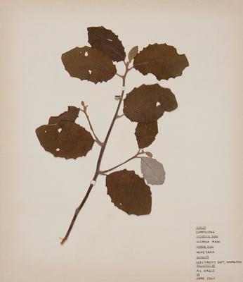 Heketara (Olearia rani)