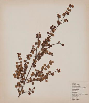Rohutu (Neomyrtus pedunculata)