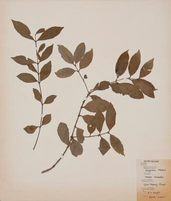 Maire tawake (Syzygium maire)