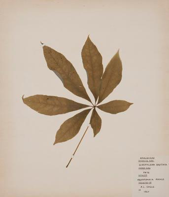 Pate (Schefflera digitata)