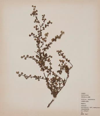 Rohutu (Lophomyrtus obcordata)