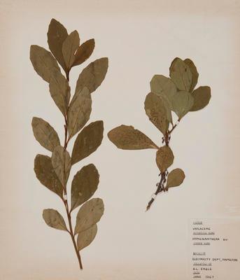 Coastal mahoe (Melicytus novae-zelandiae)