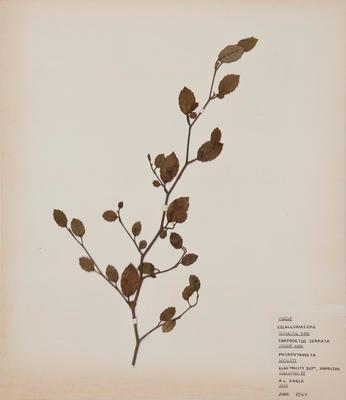 Putaputaweetaa (Carpodetus serratus)