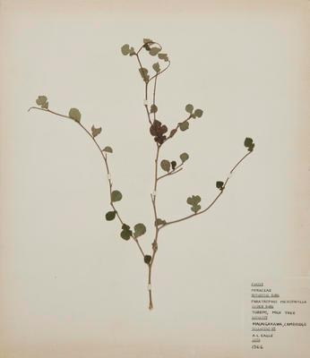 Turepo (Streblus heterophyllus)