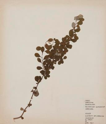 Niniao (Helichrysum lanceolatum)