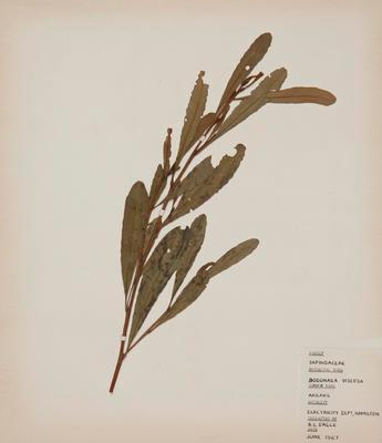 Akeake (Dodonaea viscosa)