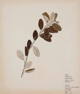 Daisy bush (Brachyglottis greyi)