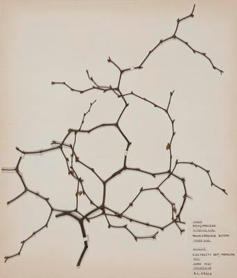 Shrubby pohuehue (Muehlenbeckia astonii)