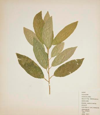 Mahoe (Melicytus ramiflorus)