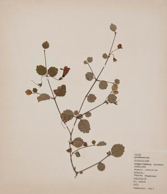 Taurepo (Rhabdothamnus solandri)