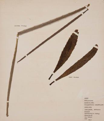 Lancewood (Pseudopanax crassifolius)