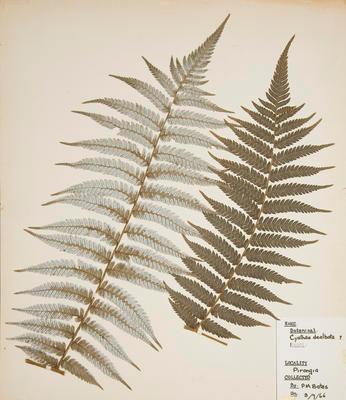 Ponga (Alsophila dealbata)