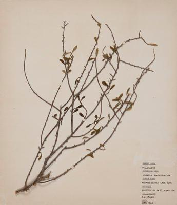 Mountain lacebark (Hoheria angustifolia)