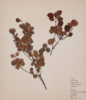 Small-leaved ramarama (Lophomyrtus ×ralphii)