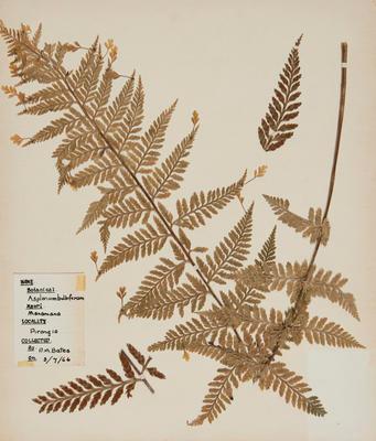 Mouku (Asplenium bulbiferum)