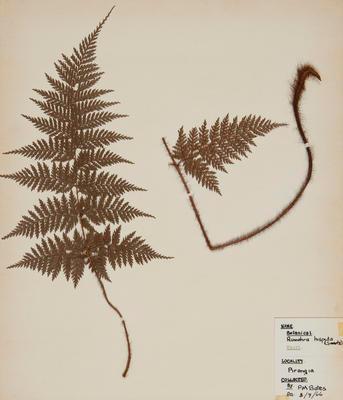 Hairy fern (Lastreopsis hispida)