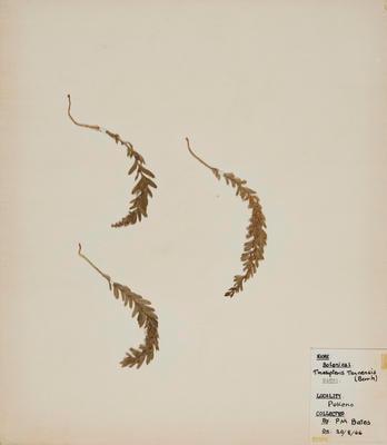 Hanging fork fern (Tmesipteris tannensis)